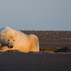 bear in sand den at sunrise