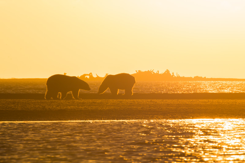 2 bears in silhouette with the whale boneyard in the background
