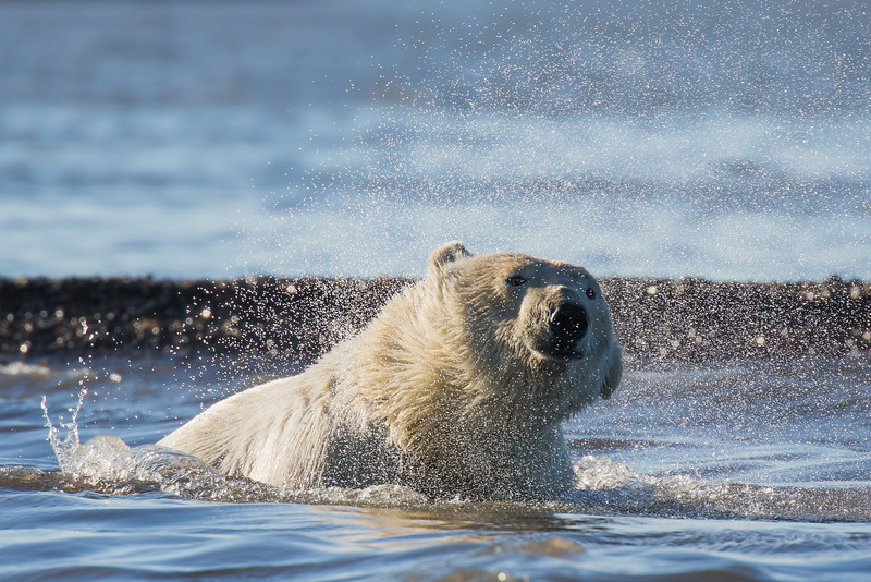 bear shaking off the water