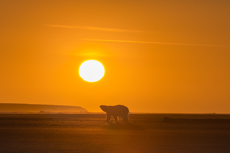 bear in silhouette at sunset