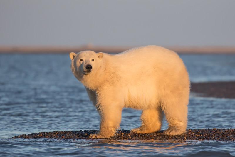 bear at water's edge