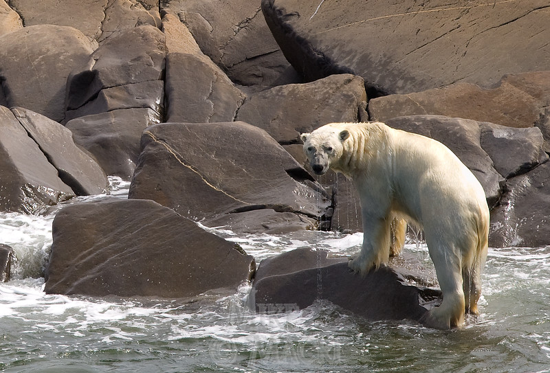 Lean polar bear, after coming off ice