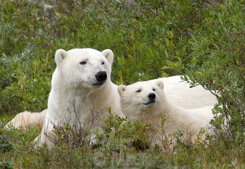 Polar bear sow with cub, summer.