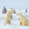 Polar bears spar in order to prepare themselves for the trip out onto the sea ice.
