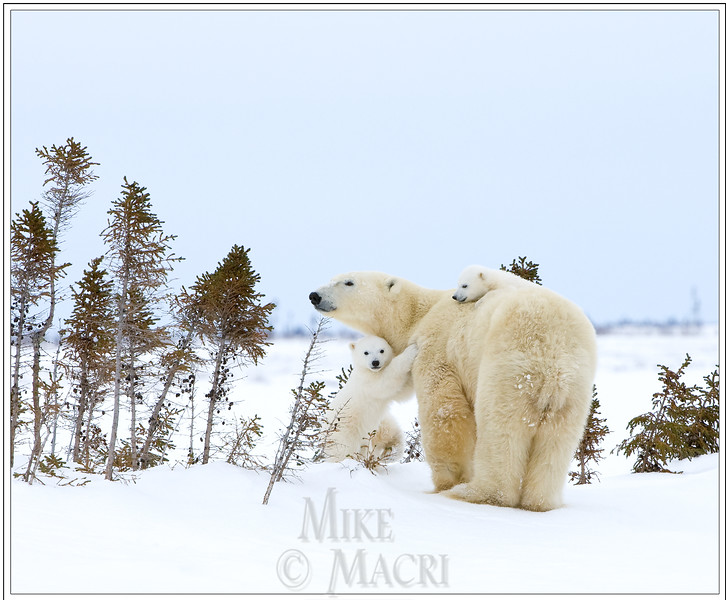 Emerging from the den in March, first-year polar bears are called coy (cub of year).