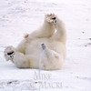 Polar bear doing yoga exercise, (yoga bear).
