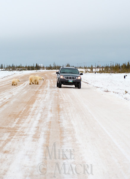 Polar bears on road