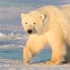 Subadult polar bear #2