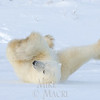 Polar bear breakdancing