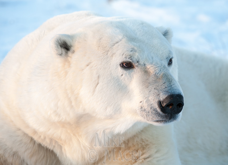 Polar bear with scars