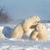 Male polar bears sparring.