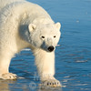 Subadult polar bear