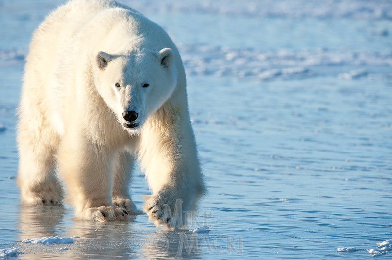 Polar Bear Approaching