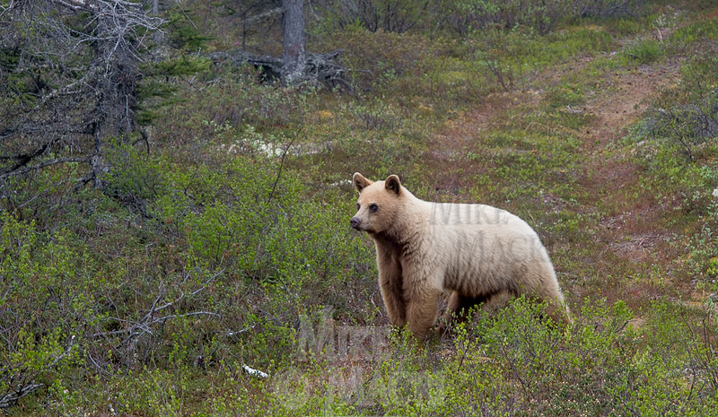 Black bear ? #4