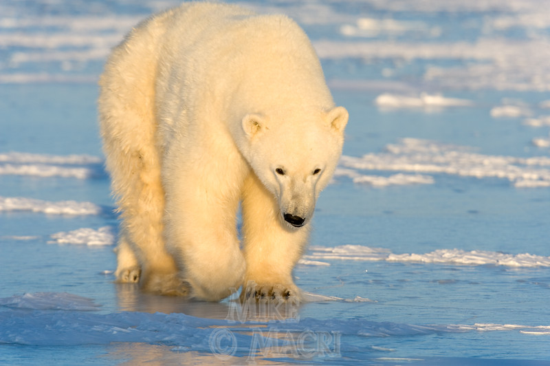 Subadult polar bear #3