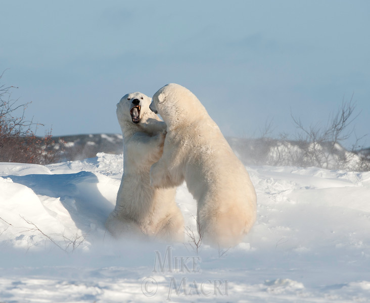 Male polar bears sparring.