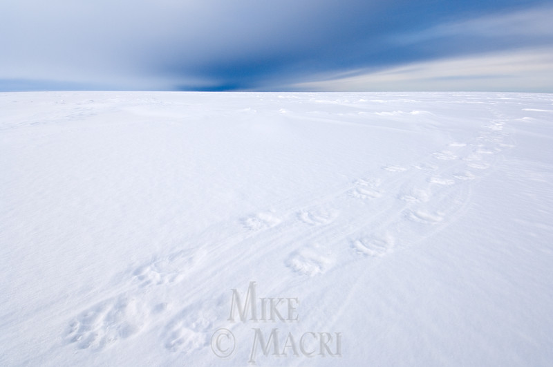 Polar bear tracks on sea ice, Hudson Bay.