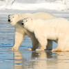 Polar bear sow with two year old cub
