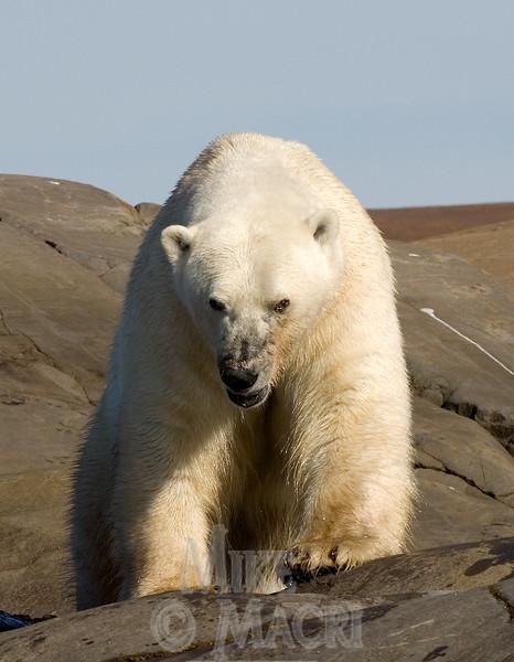 Grumpy polar bear