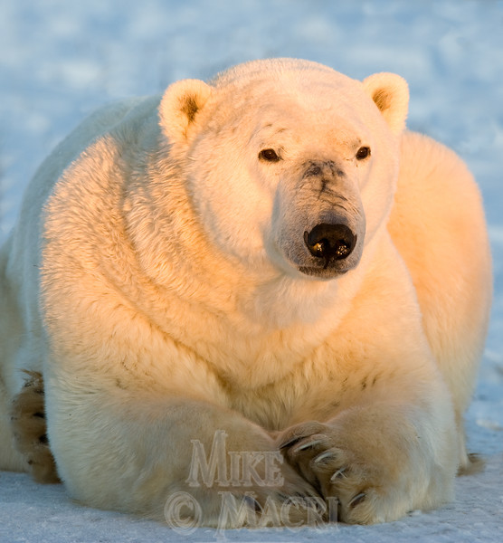 This bears name is dancer, black on his snout are scars showing the black skin under his fur, Dancer is a mature male weighing about half a ton.