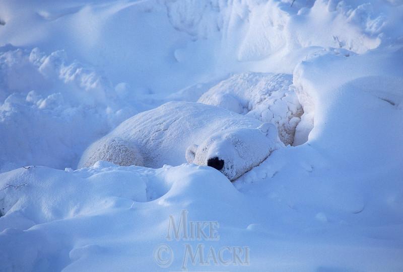 Polar Bear Sow with Cubs in snow drift