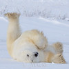 Polar bear holding it up