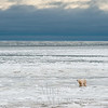 Polar Bear coming off sea ice