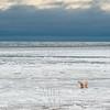 Polar Bear coming off sea ice