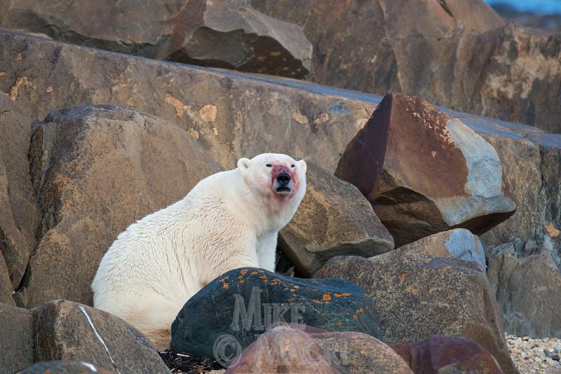 Male polar bear after eating beluga