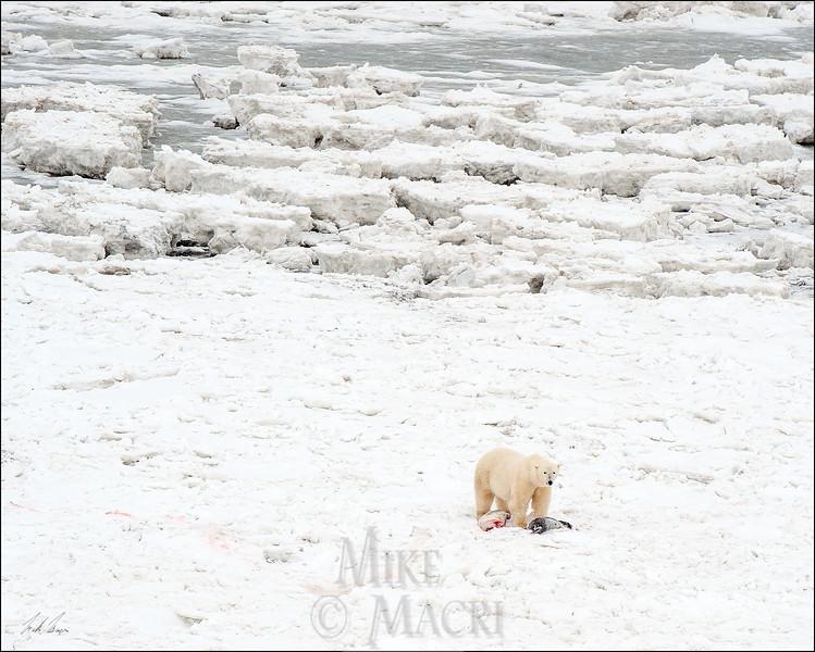 Polar Bears with seal kill