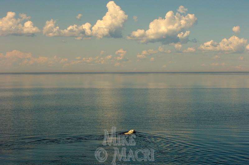 Summer polar bear swimming for shore.
