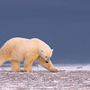 Polar bear roaming the tundra, his sophisticated directional nose is his most important tool.