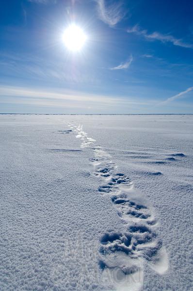 Polar bear  tracks on sea ice #2