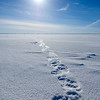 Polar bear  tracks on sea ice #2