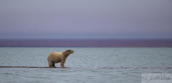 POLAR BEARS OF KAKTOVIK, AK