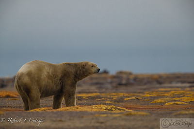 A pensive polar bear contemplates dinner....