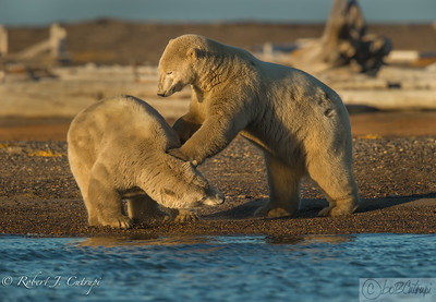 Yearling cubs playing at the beach. Polar bears are very playful and reminded me of dogs.