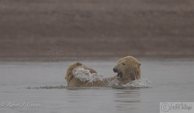 Young Polar bears play in the Kaktovik lagoon on a foggy day.
