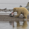 "A yearling Polar bear cub digs into a piece of Muktuk - Whale skin with blubber attached. In the background is the ""Bone Pile"". Native Alaskans - Inupiats, are allowed to catch 1-3 whales per year which feeds the entire village of Kaktovik. The scraps are placed on a piece of land called a spit that separates the lagoon from the Beaufort Sea. An estimated 500-600 photographers come to Kaktovik to photograph the polar bears each year."