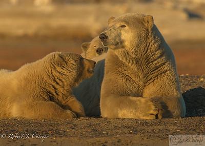 A female polar bear with two cubs on the Kaktovik Lagoon.