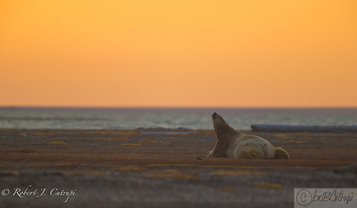 Sunrise at the Beaufort Sea, Kaktovik, Alaska. This is a large male adult polar bear