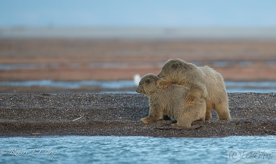 Two polar bear cubs have fun at the Bernard Spit on the Kaktovik Lagoon.