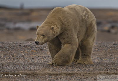 Male Polar Bear - Kaktovik, Alaska
