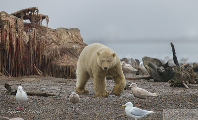 Yearling polar bear at the bone pile. The Inupiat Alaskans caught 3 Bowhead whales in 2017. The whales are part of the Inupiat culture. After butchering the whales and dividing the catch with the town people, the scraps are placed at the bone pile. Polar bears come from 100's of miles each year to feast at the bone pile.