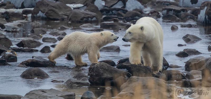 Polar Bears - Hudson Bay, Manitoba, Canada