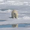 Approach of a beautiful female Polar Bear