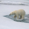 Female Polar Bear.  She was very relaxed and we watched her for a couple of hours in bitingly cold weather