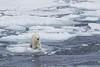 Bear at the ice edge