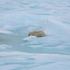 Polar Bear patiently waiting near a seal hole in fast ice