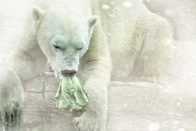 Wonderful Polar Bears